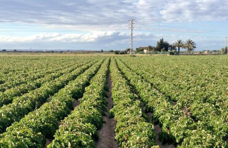 La recolección de patata nueva aporta patatas de calidad