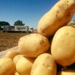 Potato selecciona la mejor patata nueva