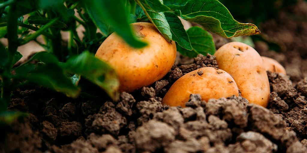 diferencias entre patata nueva y patata vieja